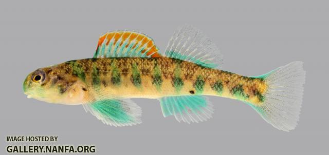 Etheostoma baileyi Emerald Darter 242-2500