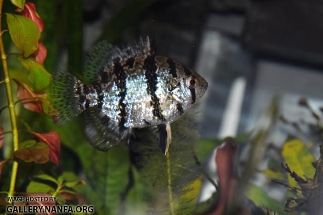Enneacanthus chaetodon female2 by BZ
