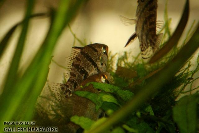 Enneacanthus chaetodon pair durring courtship1 by BZ