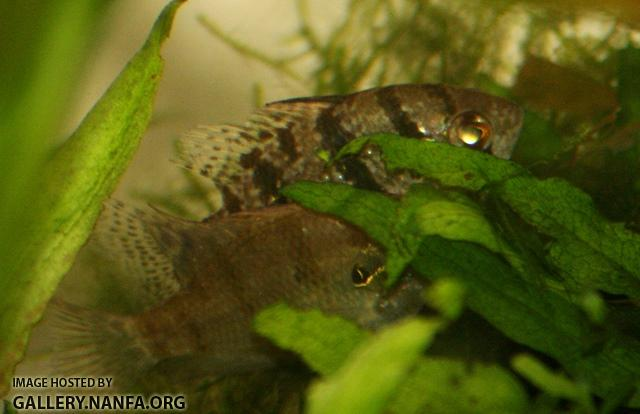Enneacanthus chaetodon pair durring courtship3 by BZ