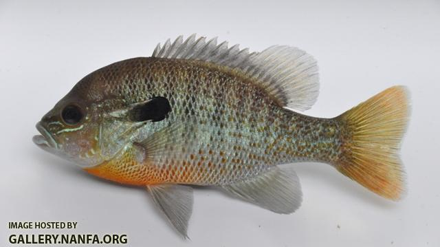 Lepomis auritus male2 by BZ