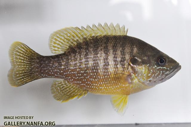Lepomis cyanellus female1 by BZ