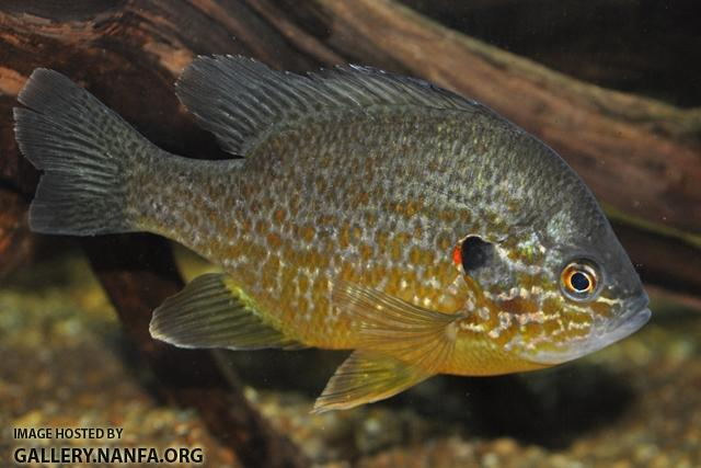 Lepomis gibbosus male3 by BZ