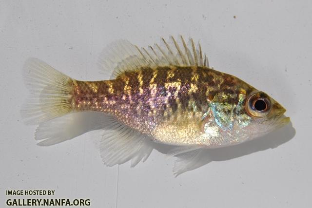 Lepomis gulosus juvenile1 by BZ