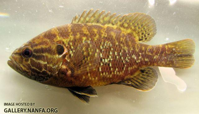 Lepomis gulosus male4 by BZ
