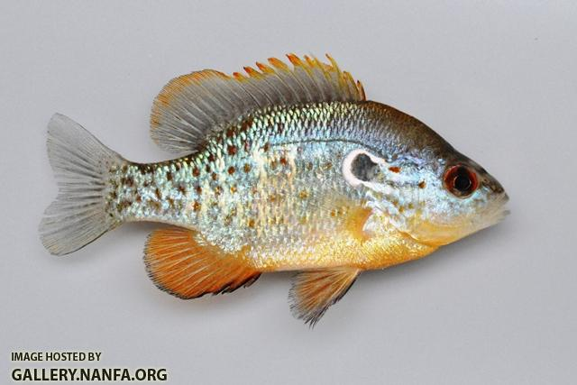 Lepomis humilis male4 by BZ