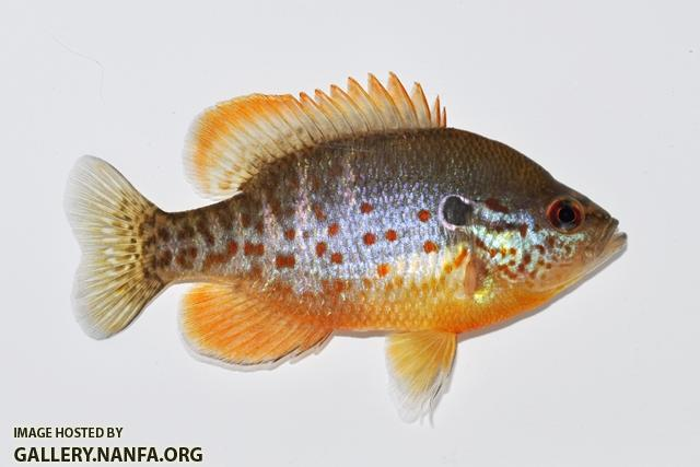 Lepomis humilis male5 by BZ