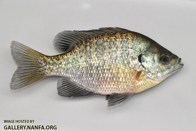 Lepomis macrochirus macrochirus female1 by BZ