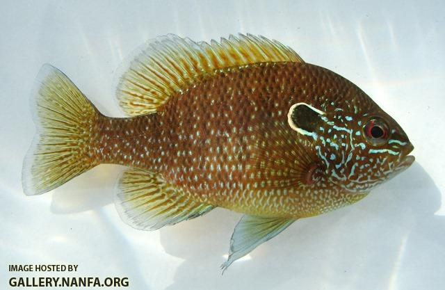 Lepomis marginatus eastern male1 by JZ