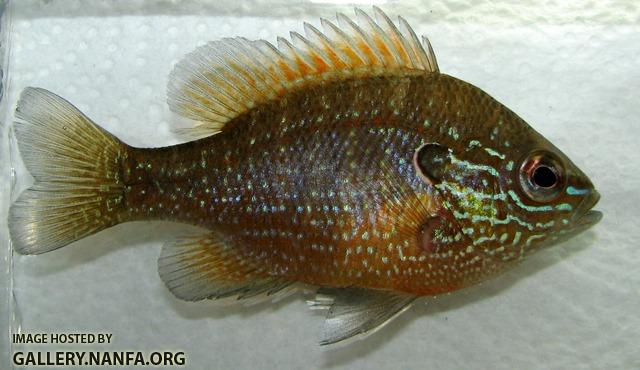 Lepomis marginatus western male young2 by BZ