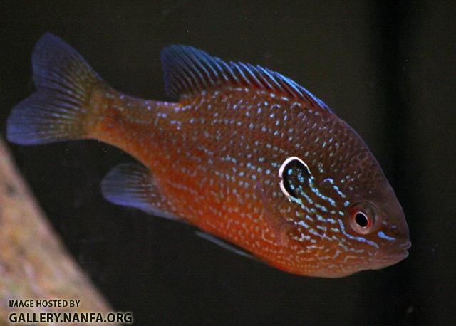 Lepomis marginatus western male5 by BZ