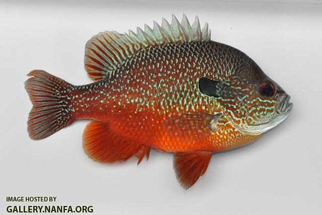Lepomis megalotis Mississippi River embayment form male2 by BZ