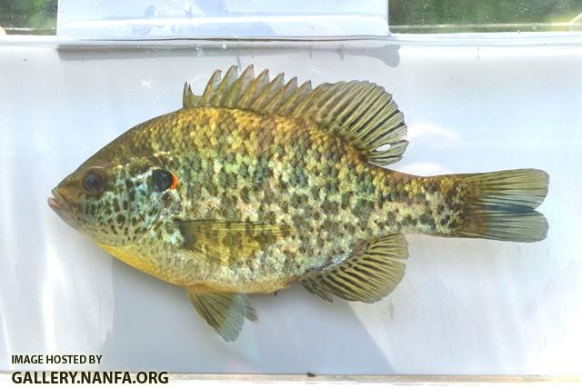 Lepomis microlophus female1 by BZ