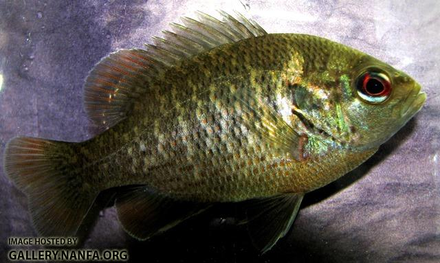Lepomis miniatus male young2 by BZ