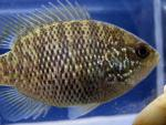 Lepomis symmetricus female2 by BZ