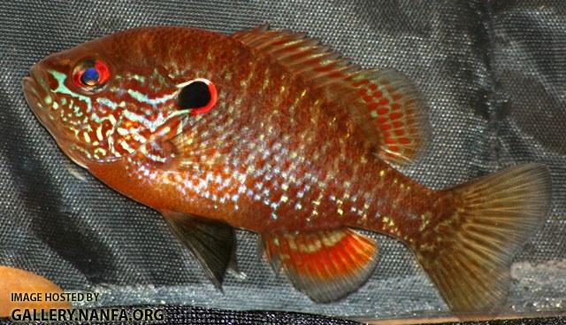 Lepomis peltastes male7 by BZ