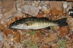 Micropterus cataractae 2 by BZ
