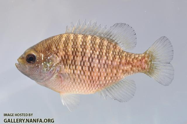 Lepomis symmetricus female3 by BZ