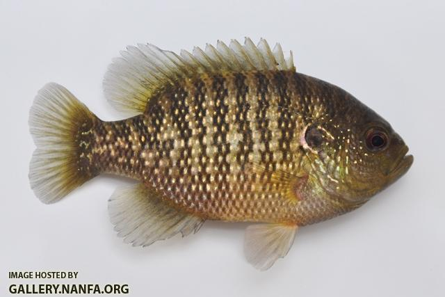 Lepomis symmetricus male4 by BZ