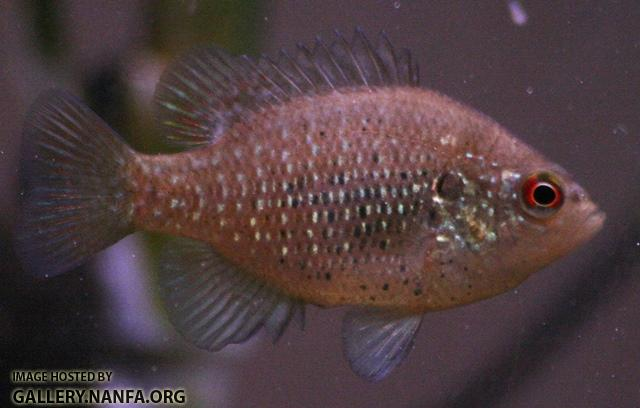 Lepomis symmetricus male5 by BZ