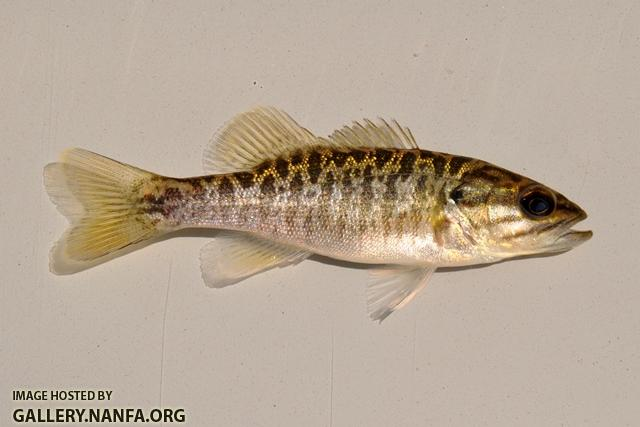 Micropterus cataractae juvenile1 by BZ