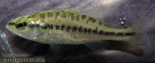 Micropterus salmoides salmoides juvenile1 by BZ