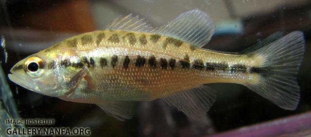 Micropterus salmoides salmoides juvenile2 by BZ