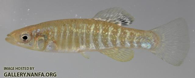 Fundulus diaphanus menona male1 by BZ