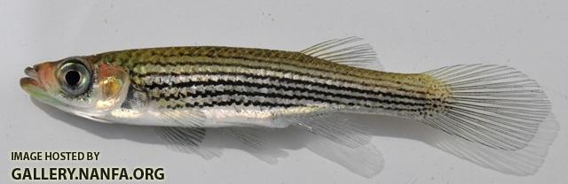 Fundulus lineolatus female1 by BZ