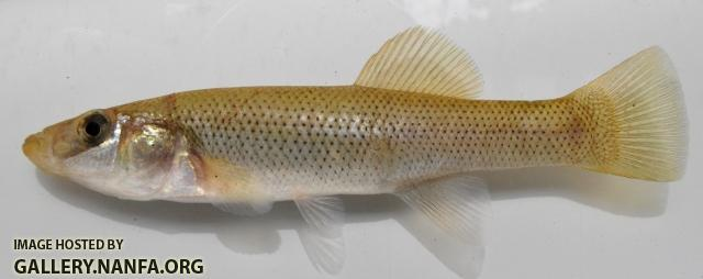 Fundulus seminolis female1 by BZ