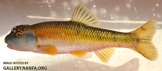 Nocomis+leptocephalus+male10+by+BZ.JPG