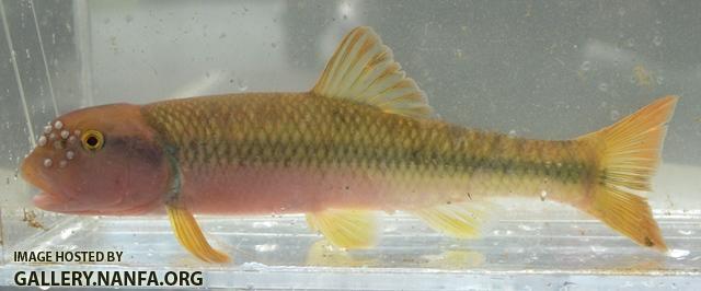 Nocomis+micropogon+male2+by+BZ.JPG
