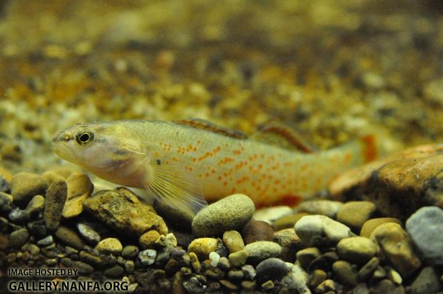 Etheostoma artesiae male1 by BZ