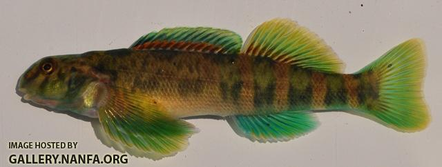 Etheostoma blennioides male1 by BZ