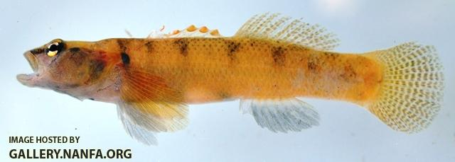 Etheostoma brivispinum male1 by AK