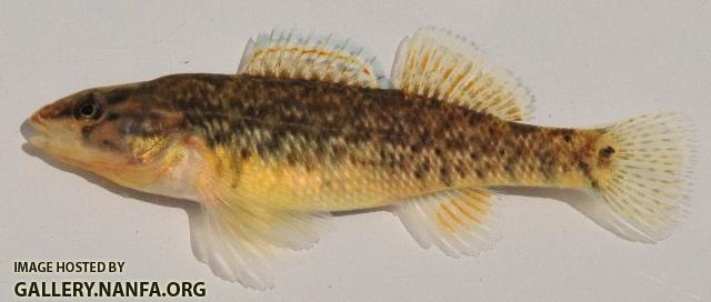 Etheostoma caeruleum female2 by BZ