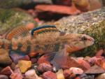 Etheostoma caeruleum x spectabile male3 by BZ