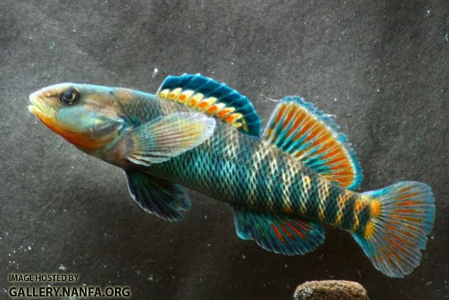 Etheostoma caeruleum male5 by BZ