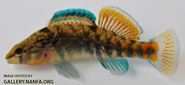 Etheostoma caeruleum x spectabile male1 by BZ