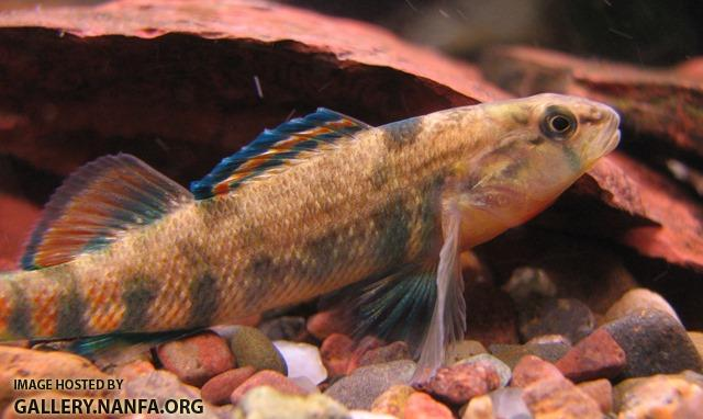Etheostoma caeruleum x spectabile male4 by BZ