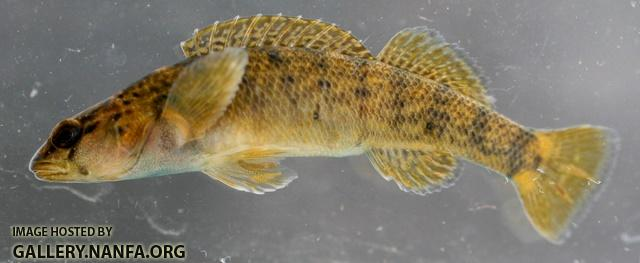 Etheostoma camurum x tippecanoe female1 by BZ