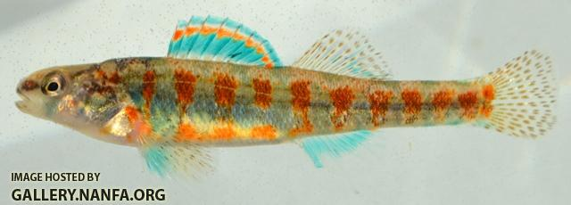 Etheostoma exile male1 by BZ