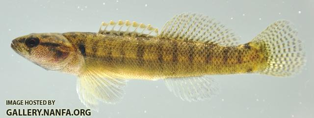 Etheostoma flabellare male1 by BZ