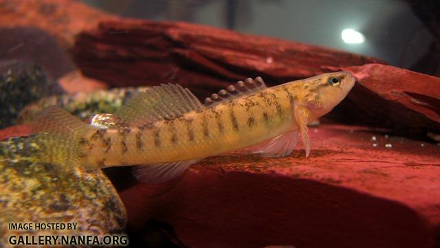 Etheostoma flabellare male2 by BZ