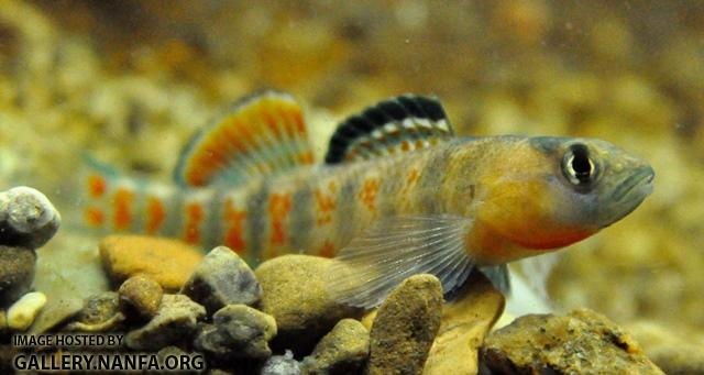 Etheostoma lawrencei male1 by BZ