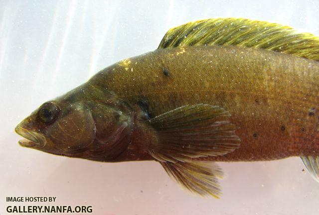 Etheostoma maculatum female4 by BZ