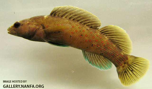 Etheostoma maculatum male3 by BZ