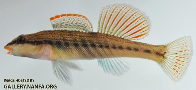 Etheostoma maydeni male1 by BZ