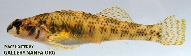 Etheostoma podostemone female1 by AK