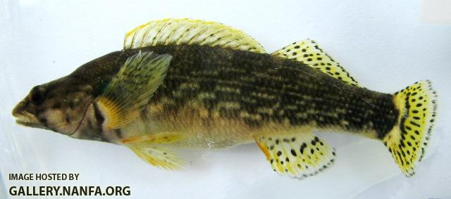 Etheostoma rufilineatum female5 by BZ